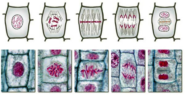 分裂 細胞